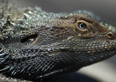 lizardO019a